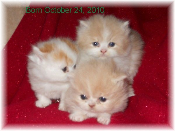 Teacup persian kittens for sale louisiana