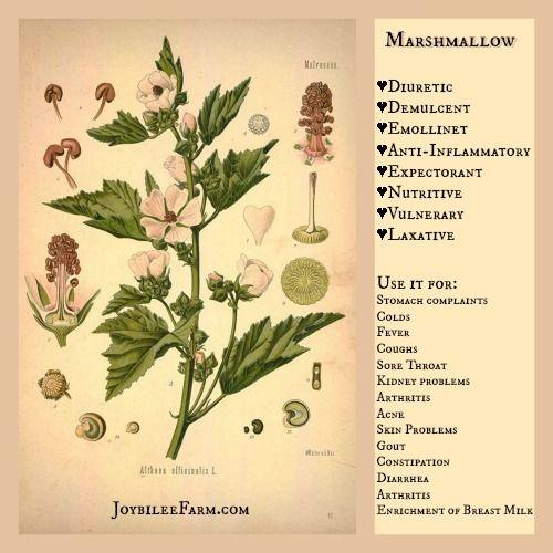 Marshmallow benefits -- Grow marshmallow in your garden for these amazing medicinal actions -- JoybileeFarm.com