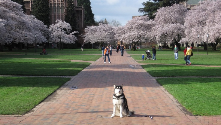 A Dawg S Life You Know It S Spring Quarter At Uw When The Cherry Trees Are Blooming In University Of Washington Huskies University Of Washington Places To See