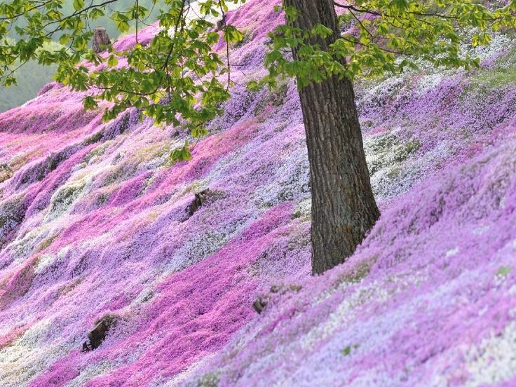 Unbelievable. Moss pink. Higashimokoto-Sibazakura Park, Ozora-cho, Hokkaido.