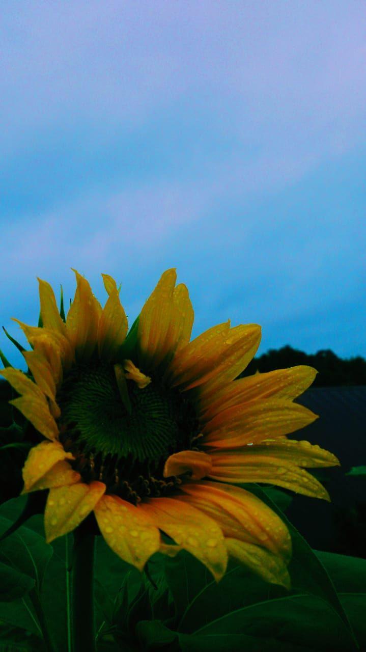 Sun Flower Bunga Mekar Gunung Berapi