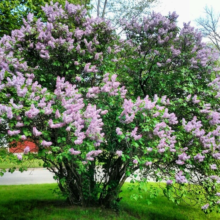 Lilac tree | Gardening | Pinterest