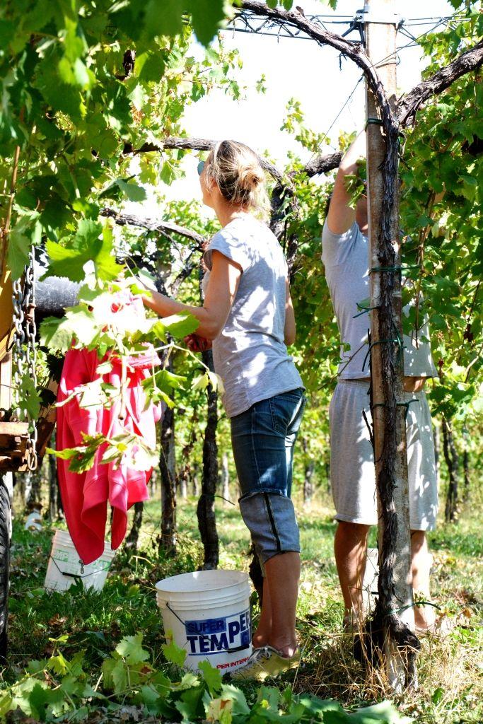 girl at work # grape # wine producer # scissor # white wine # www.cabiancadellabbadessa.it #