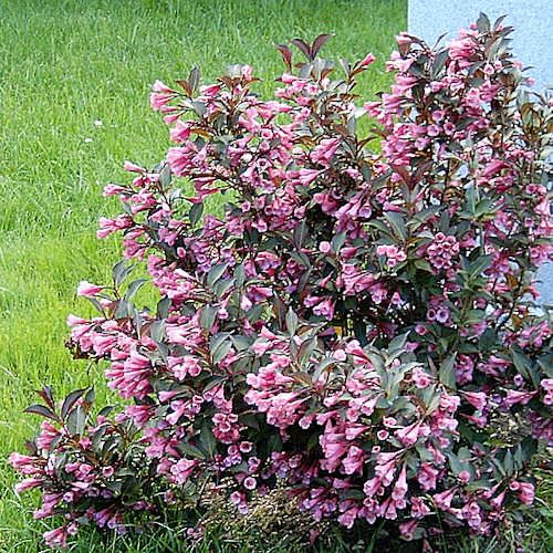 weigelia weigela foliis purpureis jeune plante en godet weigela florida foliis purpureis est. Black Bedroom Furniture Sets. Home Design Ideas