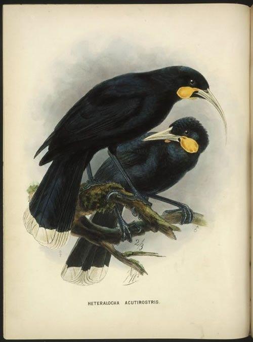 Buller's birds | NZHistory, New Zealand history online