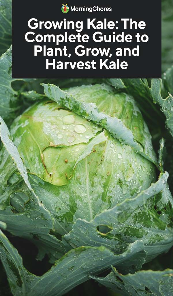 Growing Kale: The Complete Guide to Plant, Grow, and ... Companion Planting Kale