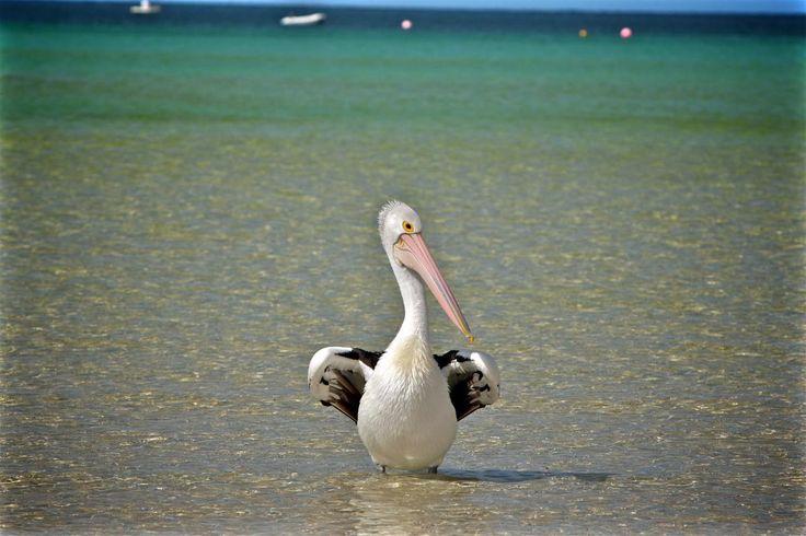 🔝 Check out this free photoPelican sea bird ocean    🆗 https://avopix.com/photo/49299-pelican-sea-bird-ocean    #pelican #bird #aquatic bird #pelecaniform seabird #seabird #avopix #free #photos #public #domain