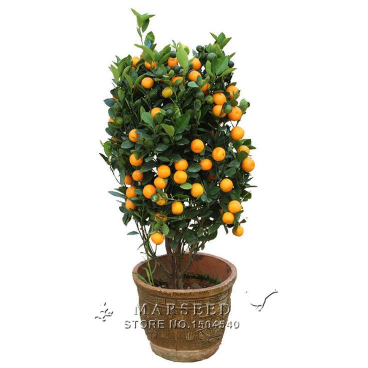 20 Pcs Climbing Orange Seeds Mini Potted Edible Fruit Seeds Bonsai China Top Quality Climbing Orange Tree Seeds #Affiliate