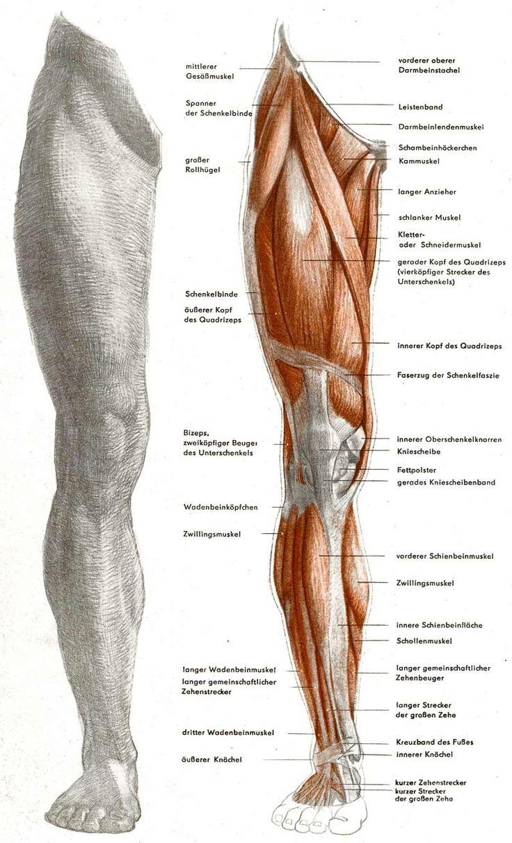 причастность расположение мышц на ногах человека схема змеи широко распространены