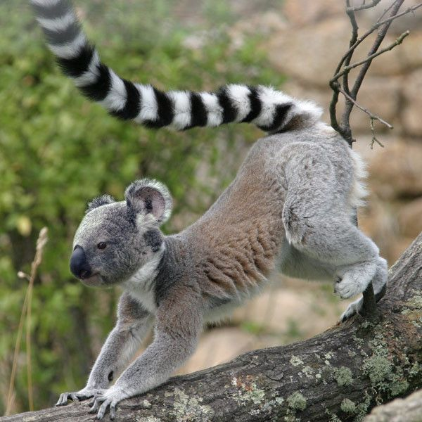 Koala tail - photo#6