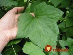 Máte na záhrade ríbezľové kríky? Mali by ste vedieť, aké užitočné sú ich listy, natrhajte si ich, kým sú zelené!