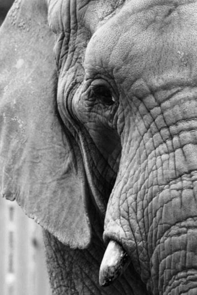 African elephants....