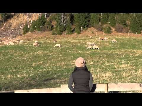 ▶ Do sheep only obey their Master's voice? - YouTube