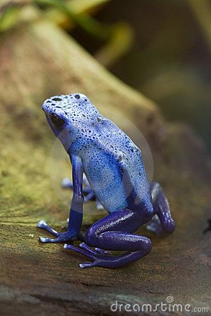 Blue Poisonous Dart Frog