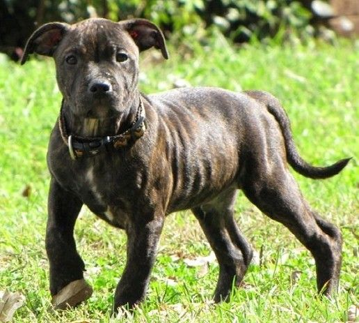 The 25+ best Brindle staffy ideas on Pinterest | Blue ...