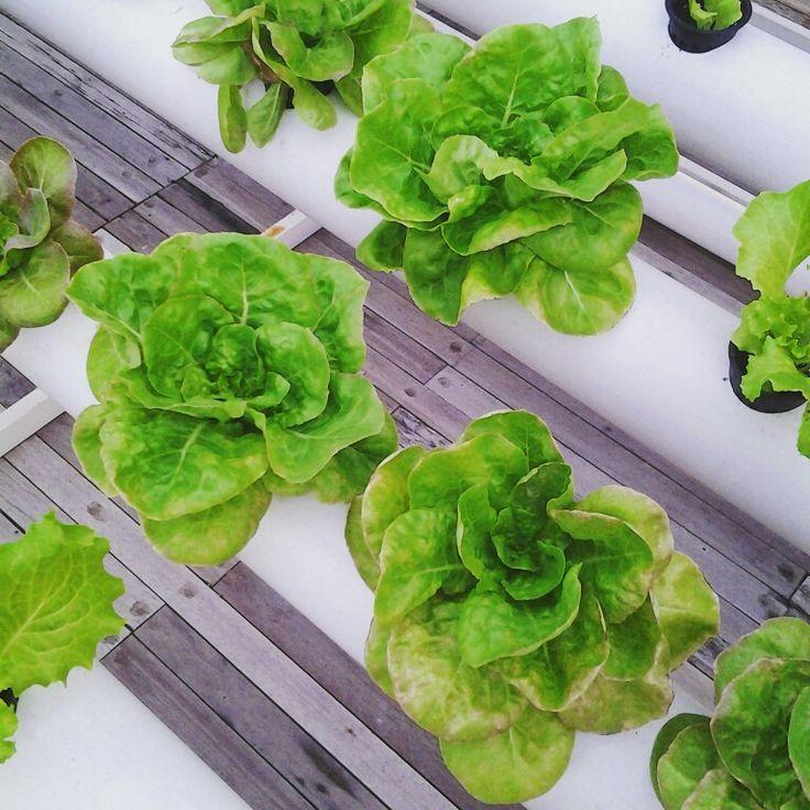 Hidroponik cabbage! From greenhost