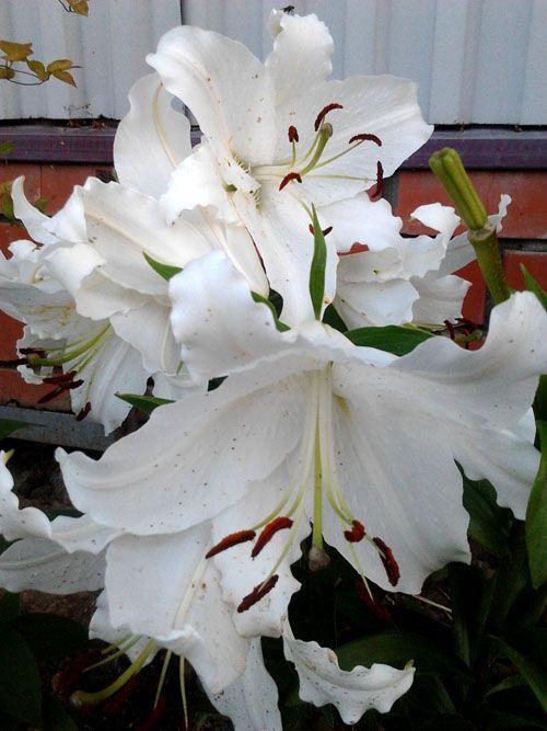 Удивительные цветы Лилии