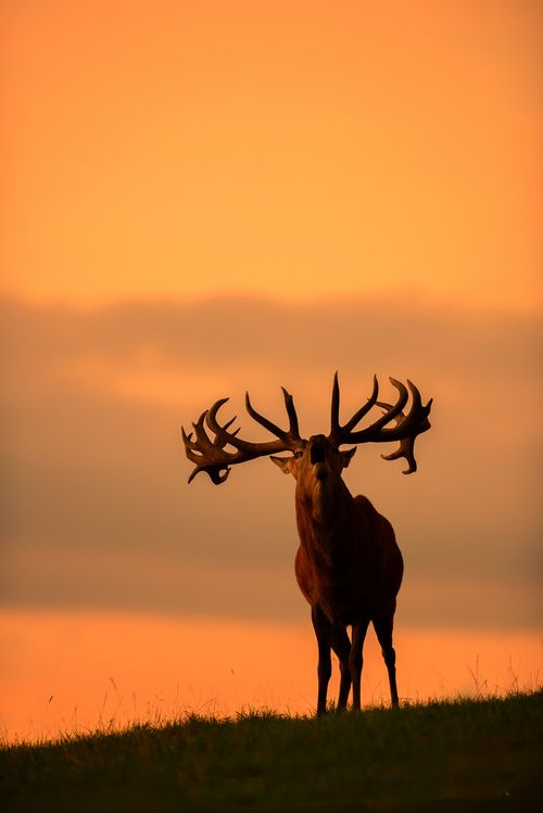 Roaring Sunset Stag by George Wheelhouse