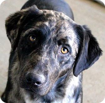 picayune ms  labrador retriever/catahoula leopard dog