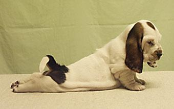 Basset yoga. How stinkin' cute is this??!! They continue to stretch their spine as adults, very therapeutic