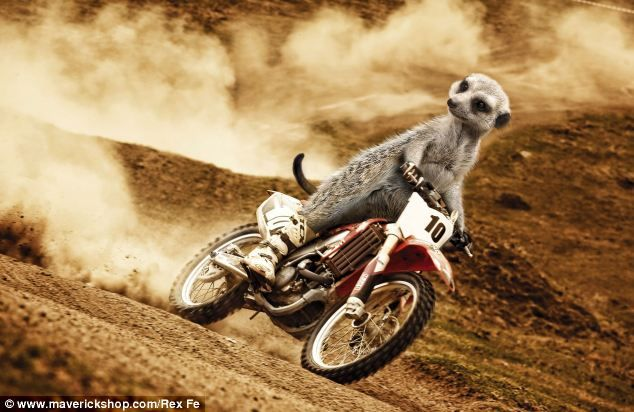 Hot rods: Turning up the heat in July, another adrenalin-seeking critter slips on a pair of motorbike boots and dirtbikes across dangerous terrain
