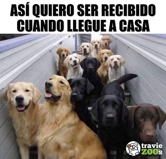 Por Fin En Casa Con Muchos Bebes Esperando Por Mi Goals Perros Golden Labrador Home Memes Perros Perros Frases Cuidar Animales