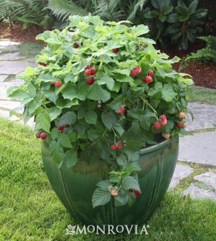 """Raspberry Shortcake"" is a dwarf thornless raspberry for containers! It only gets 2-3 feet tall."