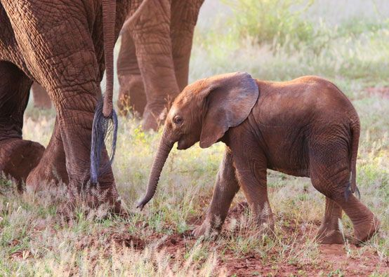 Baby elephant saying goodbye before the herd disappeared into the forest, Lake Manyara NP, Tanzania