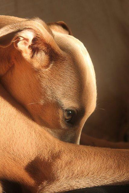 Beautiful fawn greyhound