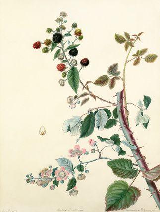 Margaret Meen -- Rubus fruticosus -- Margaret Meen -- Artists -- RHS Prints