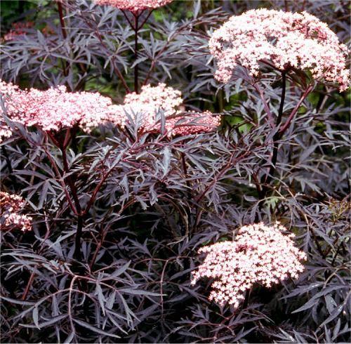 sambucus nigra f porphyrophylla 39 eva 39 finely dissected. Black Bedroom Furniture Sets. Home Design Ideas