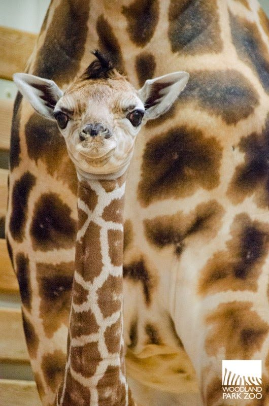 Woodland Park Zoo's male baby giraffe has become an overnight sensation, and now, it just gets better. Giraffe fans can get their daily fix of the tallest baby in Seattle through a live 24/7 animal cam at zoo.org/giraffecam!