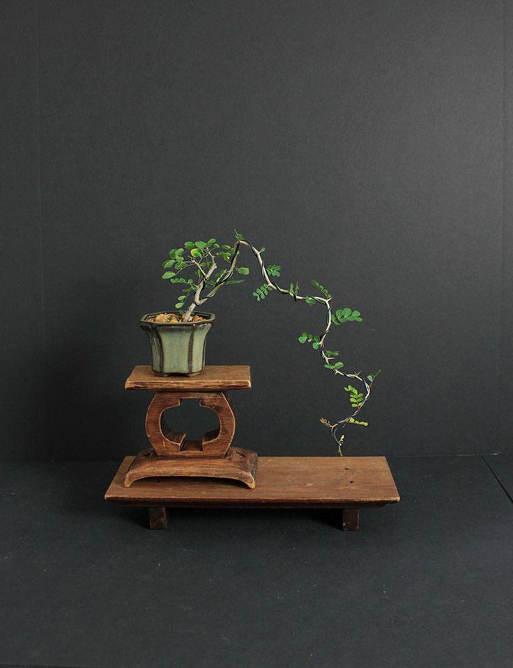 "Campeche Pre-Bonsai Tree""Summer'17 Mame Collection"" from LiveBonsaiTree by LiveBonsaiTree on Etsy"