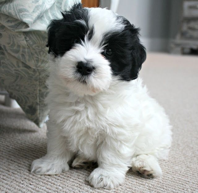 a Coton de Tulear. I NEED this dog!!!!!