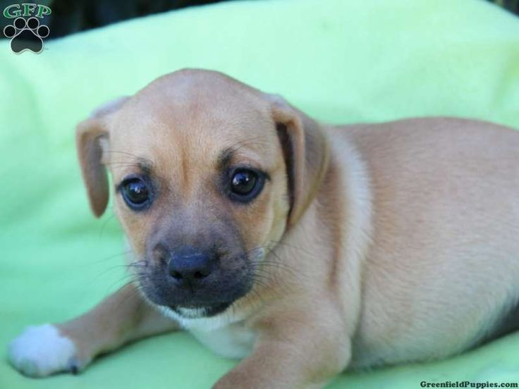 Chrystal, Jug puppy for sale in Mifflinburg, Pa