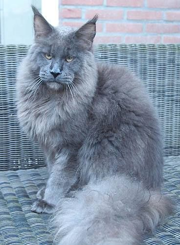 Timaracoon's Maine Coon. Beautiful!