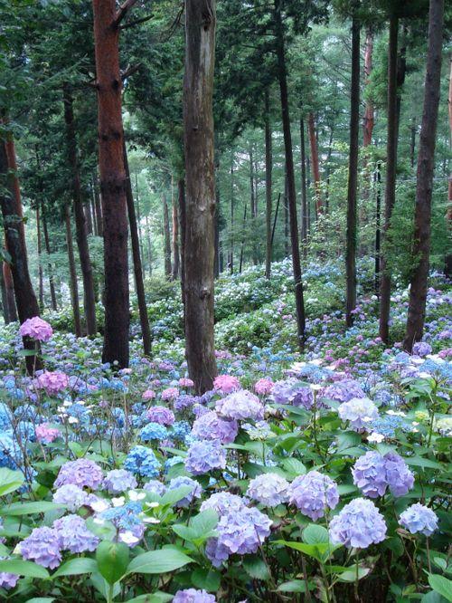 hydrangea forest.