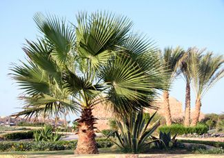 Washingtonia Palm Tree - Cold Hardy Palms | Southern Select Palms | Tropical & Indoor Palms - Willis Orchard Company