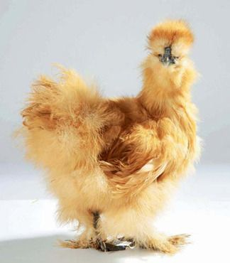 La poule, le nouvel animal de compagnie trendy.