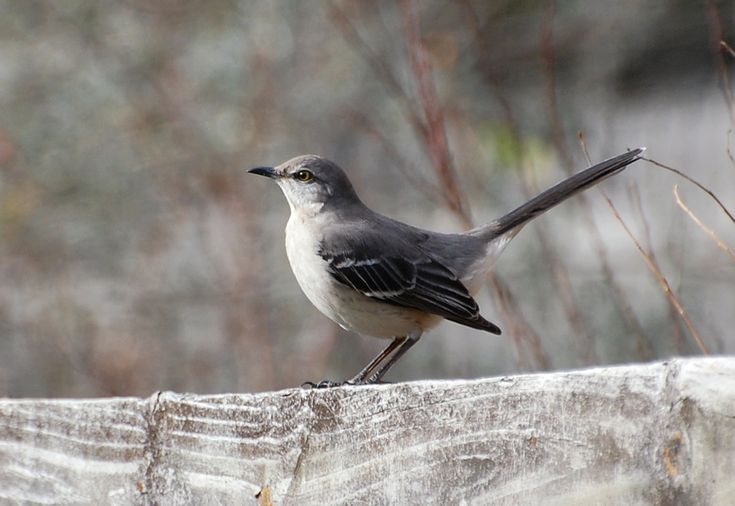 getting rid of mockingbirds
