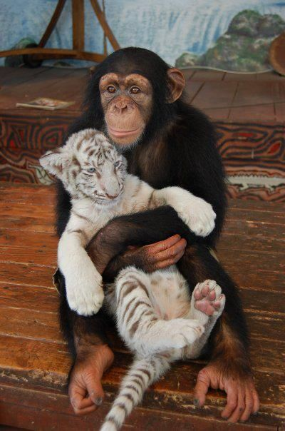 chimp, white tiger.  What will the chimp do when the tiger is 5 times as big, I wonder?