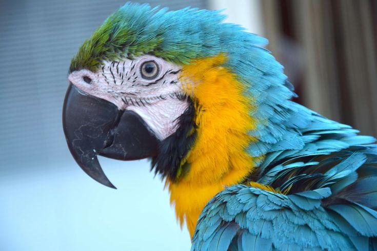 #animal #bird #color parrot #color plume #colors #detail #parrot #plume #profile #talking parrot