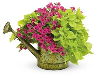 Classic, easy to grow...sweet potato vine and petunias. Cute container idea!