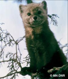 "American or Pine Marten. Eats squirrels and such. One of Minnesota's ""cutest"" predators."