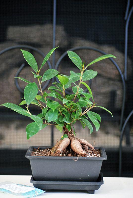 20 best Bonsai Please images on Pinterest   Bonsai, String garden ...