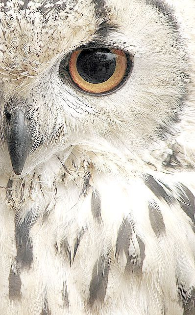 Beautiful owl closeup ✿⊱╮                                                                                                                                                      More