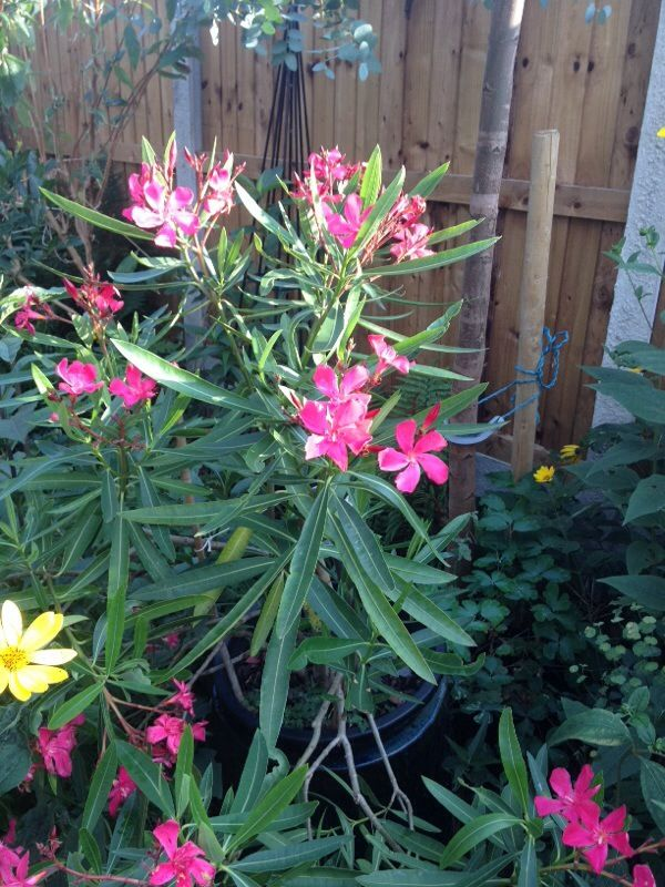 Oleander (nerium oleander): Beautiful flowers with many different colors (depending on variety), blooms all summer in full sun. Some strains of the oleander also have fragrant flowers. They are tough and withstand drought when established. They also withstands salt spray well in coastal area..  All parts of the plant are very poisonous, Be careful and always thoroughly wash your hands or better yet wear gloves if you need to prune it. Oleanders can withstand moderate amounts of frost down…