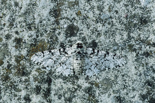 A Peppered Moth is camouflaged against lichen.  Picture: ARDEA / CATERS NEWS #Camouflage #Moth #telegraph_co_uk
