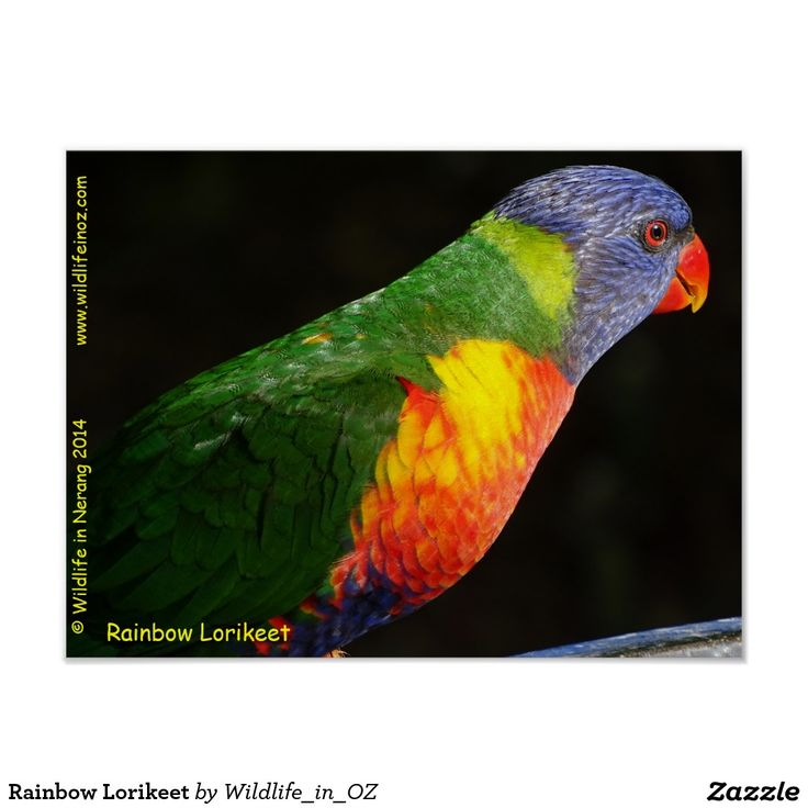 Rainbow Lorikeet Poster - #australianwildlife #lorikeet #rainbowlorikeet #queensland #australia #wildlife #poster