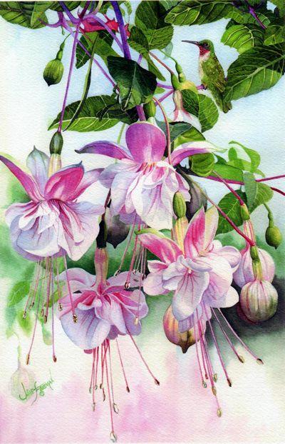 Painting of hummingbird and fushia in watercolor.